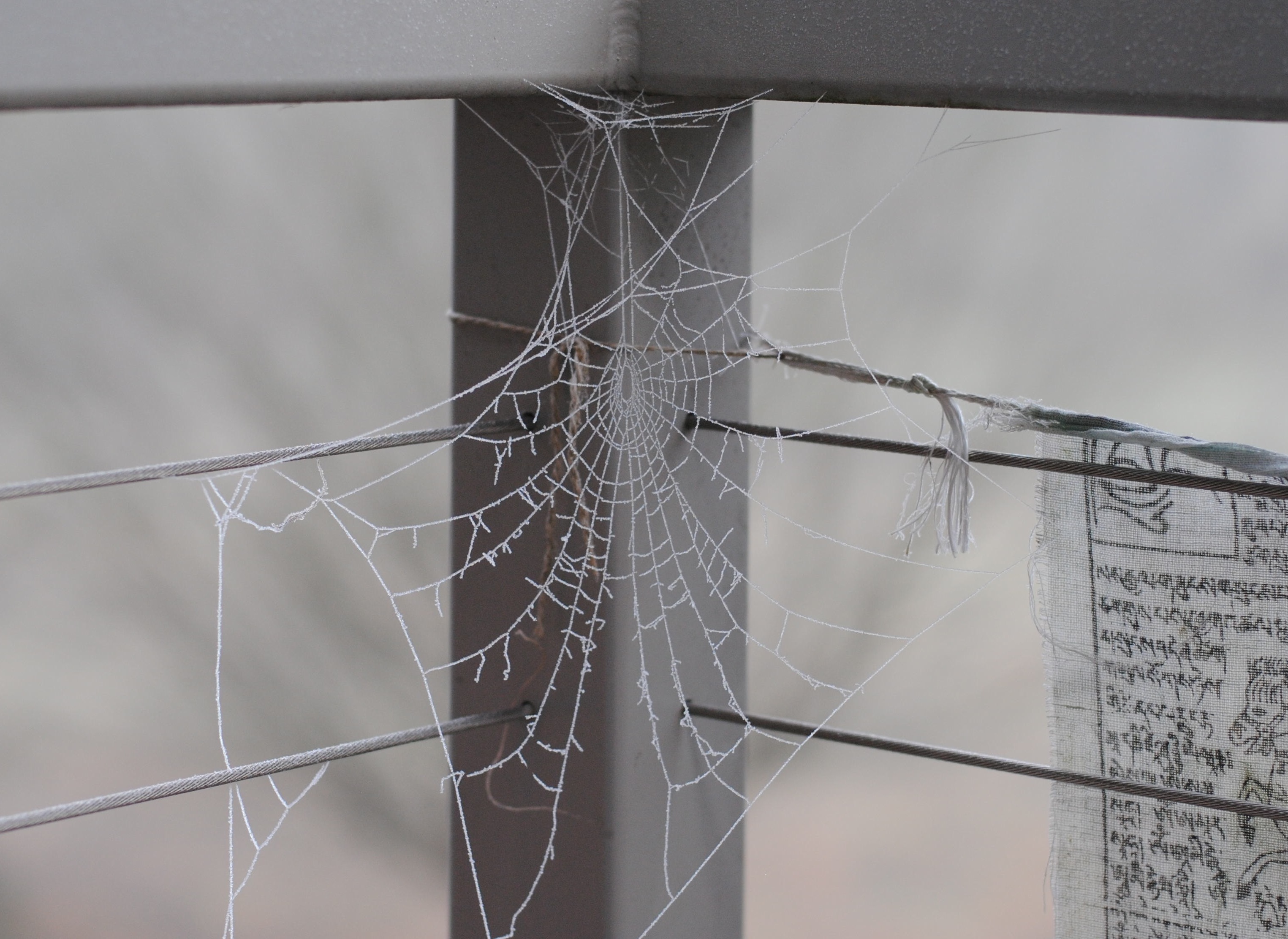Frozen spider web in Portland